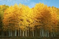 "Aspen trees in autumn, Last Dollar Road, Telluride, Colorado by Panoramic Images - 36"" x 24"""