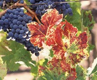 """Grapes on the Vine, Wine Country, California by Panoramic Images - 36"""" x 30"""""""