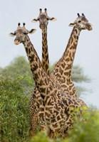 "Three Masai giraffe standing in a forest, Lake Manyara, Lake Manyara National Park, Tanzania by Panoramic Images - 17"" x 24"""