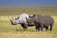 """Side profile of two Black rhinoceroses standing in a field, Ngorongoro Crater, Ngorongoro Conservation Area, Tanzania by Panoramic Images - 16"""" x 11"""""""