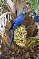 """Hyacinth macaws eating palm nuts, Three Brothers River, Meeting of the Waters State Park, Pantanal Wetlands, Brazil by Panoramic Images - 16"""" x 24"""", FulcrumGallery.com brand"""