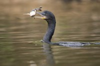 """Neotropic cormorant with fish in beak, Three Brothers River, Meeting of the Waters State Park, Pantanal Wetlands, Brazil by Panoramic Images - 16"""" x 11"""""""