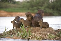 """Capybara family on a rock, Three Brothers River, Meeting of the Waters State Park, Pantanal Wetlands, Brazil by Panoramic Images - 16"""" x 11"""""""