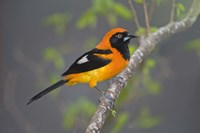 """Orange-Backed troupial perching on a branch, Three Brothers River, Meeting of the Waters State Park, Pantanal Wetlands, Brazil by Panoramic Images - 16"""" x 11"""""""