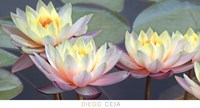 Lotus Panorama Fine Art Print