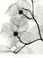 Dogwood Blossoms - Positive Fine Art Print