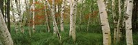 Downy birch trees in a forest, Wild Gardens of Acadia, Acadia National Park, Maine Fine Art Print