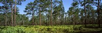 "Pine trees in a forest, Suwannee Canal Recreation Area, Okefenokee National Wildlife Refuge, Georgia by Panoramic Images - 28"" x 9"""