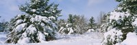 "Snow covered pine trees in a forest, New York State, USA by Panoramic Images - 27"" x 9"""