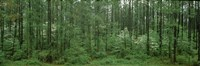 "Flowering Dogwood (Cornus florida) trees in a forest, Alaska, USA by Panoramic Images - 27"" x 9"""