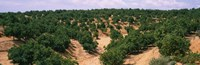 """Orange groves in a field, Andalusia, Spain by Panoramic Images - 28"""" x 9"""""""
