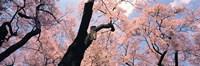 Pink Blossoms Nagano Japan