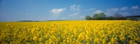 """Oilseed rape (Brassica napus) crop in a field, Switzerland by Panoramic Images - 28"""" x 9"""""""