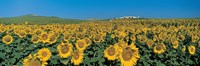 Sunflower Field Andalucia Spain