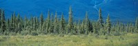 """Trees in Banff National Park Canada by Panoramic Images - 27"""" x 9"""""""