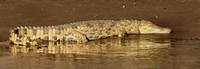 "Side profile of a Nile Crocodile (Crocodylus Niloticus), Masai Mara National Reserve, Kenya by Panoramic Images - 26"" x 9"""