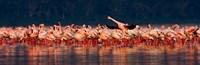 "Lesser flamingos in a lake, Lake Nakuru, Lake Nakuru National Park, Kenya by Panoramic Images - 28"" x 9"""