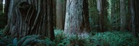Redwood Trees and Ferns, California Fine Art Print