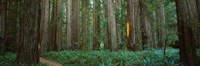 """Jedediah Smith Redwoods State Park, California by Panoramic Images - 27"""" x 9"""""""