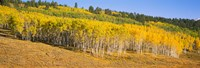"Trees in a field, Dallas Divide, San Juan Mountains, Colorado by Panoramic Images - 27"" x 9"" - $28.99"
