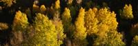 """High angle view of Aspen trees in a forest, Telluride, San Miguel County, Colorado, USA by Panoramic Images - 27"""" x 9"""""""