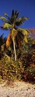 "Trees on the beach, Cinnamon Bay, Virgin Islands National Park, St. John, US Virgin Islands by Panoramic Images - 9"" x 25"""