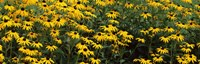 """Field of Black-Eyed Susan flowers by Panoramic Images - 28"""" x 9"""" - $28.99"""