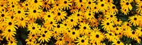 """Black-Eyed Susan flowers growing in a field by Panoramic Images - 28"""" x 9"""""""
