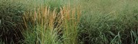 """Close-up of Feather Reed Grass (Calamagrostis x acutiflora) by Panoramic Images - 28"""" x 9"""""""