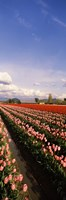 """Tulips in a field, Skagit Valley, Washington State (vertical) by Panoramic Images - 9"""" x 28"""""""