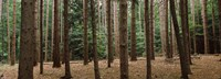 """Trees in a forest, New York City, New York State, USA by Panoramic Images - 25"""" x 9"""""""