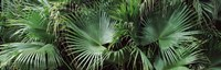 "Close-up of palm leaves, Joan M. Durante Park, Longboat Key, Florida, USA by Panoramic Images - 28"" x 9"""