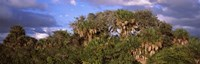 "Trees in a forest, Venice, Sarasota County, Florida, USA by Panoramic Images - 28"" x 9"""