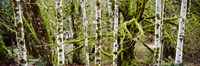 """Mossy Birch trees in a forest, Lake Crescent, Olympic Peninsula, Washington State, USA by Panoramic Images - 27"""" x 9"""""""
