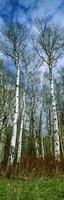 Birch trees in a forest, US Glacier National Park, Montana, USA Fine Art Print