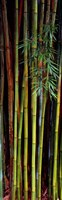 Close-up of bamboos, Kanapaha Botanical Gardens, Gainesville, Florida, USA Fine Art Print