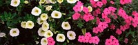 "Close-up of pink and white flowers by Panoramic Images - 27"" x 9"""