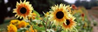 """Close-up of Sunflowers (Helianthus annuus) by Panoramic Images - 28"""" x 9"""""""