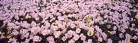 """Wildflowers Galveston TX USA by Panoramic Images - 29"""" x 9"""""""