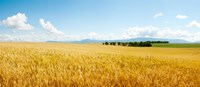 "Wheat field near D8, Brunet, Plateau de Valensole, Alpes-de-Haute-Provence, Provence-Alpes-Cote d'Azur, France by Panoramic Images - 21"" x 9"""