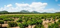 """Vineyard, Les Baux de Provence, Eyguieres, Bouches-du-Rhone, Provence-Alpes-Cote d'Azur, France by Panoramic Images - 19"""" x 9"""""""