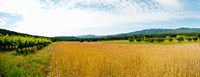 Wheat field with vineyard along D135, Vaugines, Vaucluse, Provence-Alpes-Cote d'Azur, France Fine Art Print