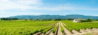 """Vineyard with mountain in the background, Ansouis, Vaucluse, Provence-Alpes-Cote d'Azur, France by Panoramic Images - 25"""" x 9"""""""