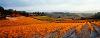 Vineyards in the late afternoon autumn light, Provence-Alpes-Cote d'Azur, France Fine Art Print