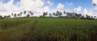"Rice field, Bali, Indonesia by Panoramic Images - 21"" x 9"""
