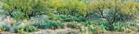 """Prickly pear cacti surrounds mesquite trees, Oro Valley, Arizona, USA by Panoramic Images - 37"""" x 9"""""""