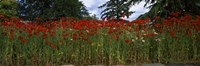 """Flanders field poppies (Papaver rhoeas) in a field, Anacortes, Fidalgo Island, Skagit County, Washington State by Panoramic Images - 28"""" x 9"""", FulcrumGallery.com brand"""
