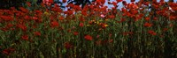 "Close up of  poppies in a field, Anacortes, Fidalgo Island, Washington State by Panoramic Images - 27"" x 9"", FulcrumGallery.com brand"
