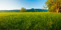 """Lone oak tree in a field, Cades Cove, Great Smoky Mountains National Park, Tennessee, USA by Panoramic Images - 18"""" x 9"""""""