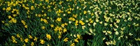 """Daffodils in Green Park, City of Westminster, London, England by Panoramic Images - 27"""" x 9"""""""